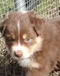 Australian Shepherd Rüde, 4 Wochen alt.