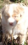 Australian Shepherd, Hündin, 4 Wochen alt